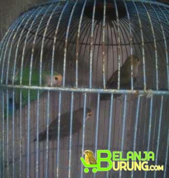 Jual Lovebird Nonklep 3