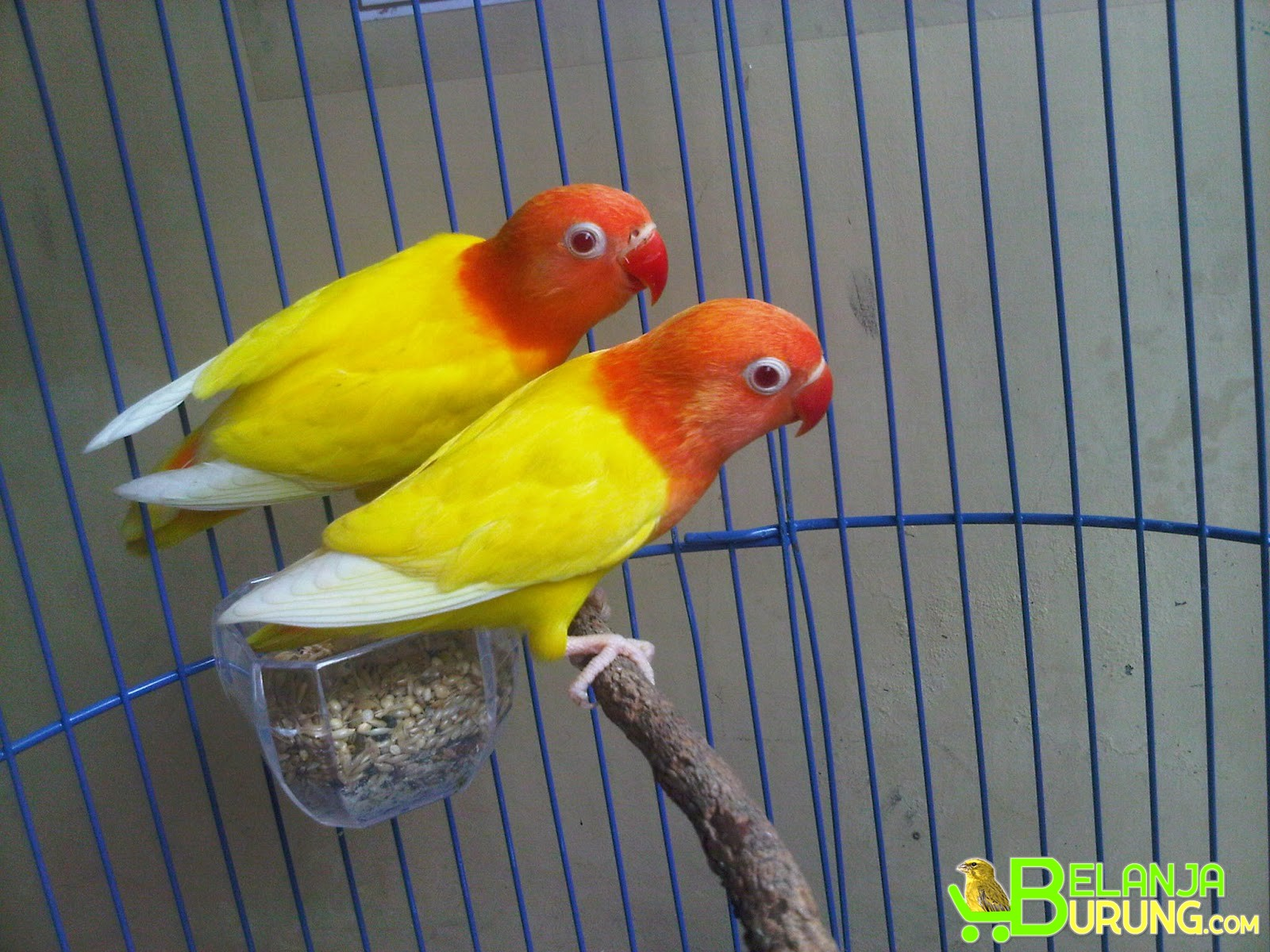 Love Bird Lutino Mata Merah Sepasang