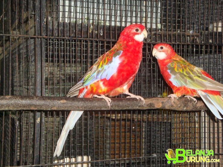Jual Beli Burung Parkit Bandung