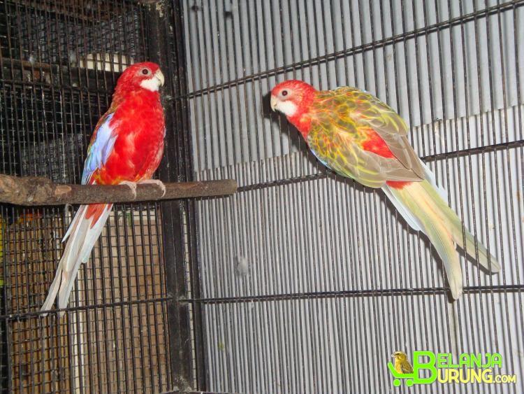 Harga Burung Kenari Banjarmasin Kata Baca J
