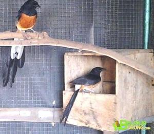 Belanjaburung Com Situs Jual Beli Burung Online