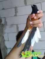 Belanjaburungcom Situs Jual Beli Burung Online